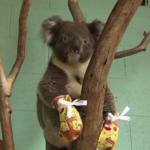 Koala met brandwonden